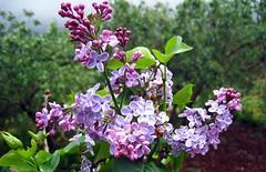 IMG_8159 - benvenuta primavera (molovate) Tags: fiori maria primavera tafme pelargonium villagrazia giardino pianta medicinale volate mrd farmacia tosse sudafrica bronchite farmacopea prima lilla lilac liliac lillà
