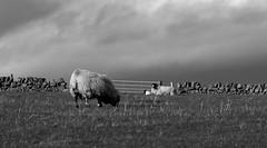 Blustery day (jamesdewar99) Tags: agriculturesheeplivestockhillgroundblackfaceewelambsspringtimeskycloudslight bw mono explored