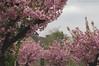 Enamoured Spring (Natali Antonovich) Tags: portrait sweetbrussels brussels belgium belgique belgie tervuren blossom spring enamouredspring cherryblossom cherrytree tree nature landscape