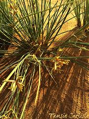 Desert Sedge in flower (tinlight7) Tags: sedge desertsedge flowers flowering sand sharjah uae taxonomy:kingdom=plantae plantae taxonomy:clade=tracheophyta tracheophyta taxonomy:phylum=magnoliophyta magnoliophyta taxonomy:class=liliopsida liliopsida taxonomy:order=poales poales taxonomy:family=cyperaceae cyperaceae taxonomy:genus=cyperus cyperus taxonomy:species=conglomeratus taxonomy:binomial=cyperusconglomeratus cyperusconglomeratus