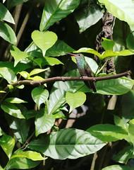 comme un oiseau sur une branche_3994 (Chris the Borg) Tags: ariana à ventre gris oiseau vert colibri branche puerto viejo talamanca costa rica caribe caribbean coast rufoustailed hummingbird bird green