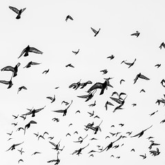 The Birds, Labour (Geraint Rowland Photography) Tags: birds fly flying flyingbirds nature blackandwhite lima peru southamerica centrallima downtownlima limaphotographybygeraintrowland geraintrowlandphotography mikejoints blancoynegro freedom travel canon canonperu visitlima