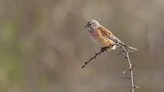 Male Linnet