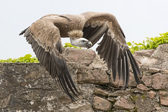 _1DX9059 Gänsegeier (Stephan Peyer) Tags: adlerburg kintzheim raubvögel falknerei gänsegeier