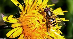 Dandelion Love (Emil de Jong - Kijklens) Tags: macro paardenbloem geel vlieg viegje yellow zweefvlieg