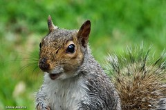 Hi There! (Anne Ahearne) Tags: cute animal wildlife nature happy smile squirrel easterngraysquirrel gray grey smiling