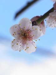 Nears end (枝垂梅) (nofrills) Tags: flora plant plants floral flower flowers plum plums plumblossom weepingplum ウメ 枝垂れ梅 tree urbantree 枝垂梅 spring