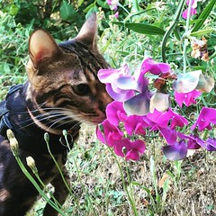 Taking time to smell the flowers last summer. Excited for this summer! #fbf #flashbackfriday #flashback #bengal #cat #bengalcat #bengals #cats #kitty #kittycat #bengalcats #bengalcatsoninstagram #bengalcatsofinstagram #catsofinstagram #sillykitty #catstag (tiina2eyes) Tags: taking time smell flowers last summer excited for this fbf flashbackfriday flashback bengal cat bengalcat bengals cats kitty kittycat bengalcats bengalcatsoninstagram bengalcatsofinstagram catsofinstagram sillykitty catstagram kittygram ネコ ねこ 猫 neko ifttt instagram