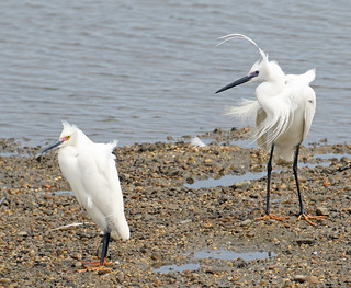 Little Egret with Snowy