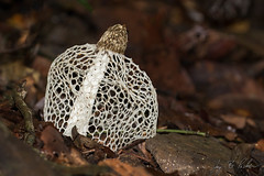 Maiden Veil Fungus (Jay Packer) Tags: malaysia maidenveilfungus fungi location asia mushrooms borneo fungus phallus stinkhorns