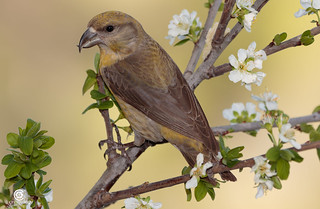 Red crossbill (Loxia curvirostra) on an Almond tree in bloom, Spring is coming!