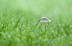 Mushroom and bokeh (Jacqui Stanley(I'm back!)) Tags: bokeh green mushroom nature macro fungi dew grass nikond300