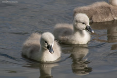 cute fluffy cygnets. (andyp178) Tags: swans cygnets fluffy cute nature spring birds lake pond family feathers lliswerry reflection water animal waterfowl