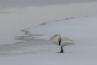 Cygne Trompette - Cygnus buccinator - Trumpeter Swan