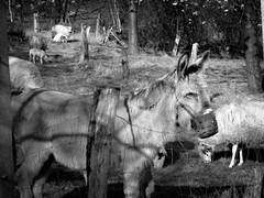 Donkey King (ursulamller900) Tags: helios442 bw esel donkey sheeps animal