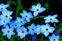 Spring Star : ハナニラ (Dakiny) Tags: 2017 spring march japan kanagawa yokohama aoba ichigao outdoor nature field park plant tree flower blossom springstar macro bokeh nikon d7000 tamron 70300mm sp70300mmf456divcusd a005 modela005 nikonclubit