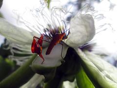 Don Chinche (Dairo Cervantes (D.C.)) Tags: flor naturaleza villavicencio meta colombia definingbeauty spring flower nature chinche blanca floripondio
