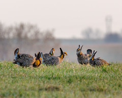 Greater Prairie Chicken (corkemup52) Tags: birds prairie chicken nebraska nature nikond7000 sigma120400mm wildlife outdoors