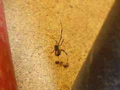 Redback Surprise (tessab101) Tags: redback male werribee melbourne victoria spider arachnid australia