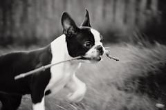 Ears Up !!! (Laineyb93) Tags: d7000 digital photo photograph photography bostonterrier puppy sally blackandwhite black white mono monochrome nikon softfocus twig boston playful fun ears littledoglaughednoiret