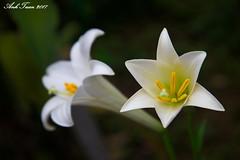 Anglų lietuvių žodynas. Žodis lilium longiflorum reiškia <li>lilium longiflorum</li> lietuviškai.