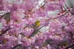 (XXVIII) Tags: eos5dmarkii ef70200mmf40lisusm cherryblossom sakura sunbird hanami tokyo sumida kongping