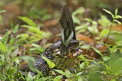 Cottonmouth (Alan Gutsell) Tags: cottonmouth snake water moccasin watermoccasin venomoussnake bites bird