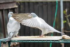 21 April 2017 (15) (AJ Yakstrangler) Tags: yakstrangler pigeon pigeons