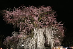 IMG_6407 Maruyama Koen (drayy) Tags: kyoto japan gion temple kiyomizudera maruyamakoen park sakura cherryblossoms 日本 京都 清水寺 円山公園 花見 桜