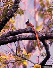 Asian paradise flycatcher  Nilgiri (sibi ar ( I'm BACK :)) Tags: terpsiphoneparadisi indianparadiseflycatcher nilgirimountain monarchidae nikond750