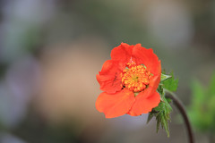 The lovely little Geum flowers