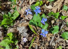 Violet (Arlen Breiholz) Tags: usa springwildflowers plants linncounty eos7d faulkeswoods cameras iowa places wildflowers cedarrapids unitedstates us