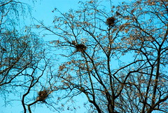 Planty in Cracow 79 (Hejma (+/- 5200 faves and 1,6 milion views)) Tags: planty nest tree rakes blue sky