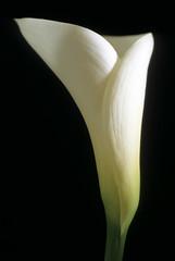 simplicity (HiroAranoJPN) Tags: nikonf6 tamronspaf90mmf28 provia100f film flower simplicity macro callalily