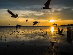 Free (xenirio) Tags: sea sunset birds bangpu freedom silhouette