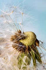 Dandelion (Barrie Parker) Tags: foliage meadow sky nature seed closeup spring d7200 nikon flower macro dandelion