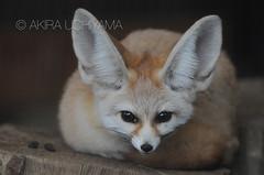 DSC_8363081128 (Akira Uchiyama) Tags: ほ乳類 アフリカ キツネ フェネックギツネ 動物たちのいろいろ 生息地 耳 耳フェネック