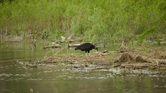 black_vulture