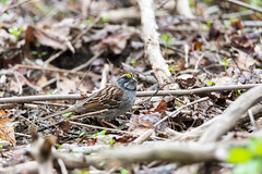 arcadia2017-297 (gtxjimmy) Tags: nikond7200 nikon d7200 tamron 150600mm arcadia arcadiawildlifesanctuary massachusetts massaudubon audubon audubonsociety newengland spring whitethroatedsparrow sparrow