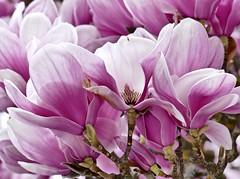 Magnolia blossom time (evakatharina12) Tags: magnolia blossom spring tree panasonic fz1000 germany bavaria
