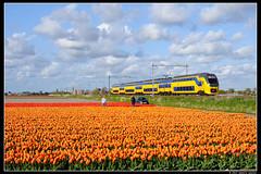 NSR-9570_Hil_23042017 (Dennis Koster) Tags: ns nsr trein personentrein passagierstrein hillegom bollenveld tulpen virm 9570