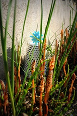 strange things in my garden grow (overthemoon) Tags: utata ironphotographer 251 utata:project=ip251 ground plants cup ball blue grass equisetumarvense fieldhorsetail commonhorsetail prêledeschamps pousses