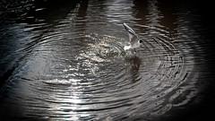 Ascending (nikkorglass) Tags: uppsala skrattmås fågel bird reflection spegling water vatten fyris