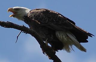 >bald eagle (Haliaeetus leucocephalus, from Greek hali