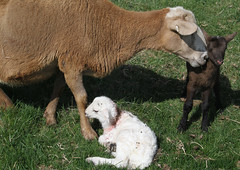 Am I your favorite? (baalands) Tags: katahdin hair sheep lambs triplets pasture grass spring ewe