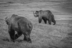 Alaskan Bears (photowarrington) Tags: alaska us usa bear bears wildlife careful mono monochrome watching pair holidday countryside bearwatching