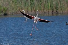 Fenicottero _036 (Rolando CRINITI) Tags: fenicottero fenicotterorosa uccelli uccello birds ornitologia camargue saintesmariesdelamer francia natura