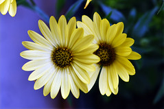 Lost in space and time (Pensive glance) Tags: daisy marguerite flower fleur plant plante