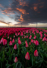 Awakening of the Tulips (Dani℮l) Tags: tulip field tulpenveld tulpen sunset zonsopkomst noordhollend sint maartsensvlotbrug zijpe poler kust coast morning nederland netherlands holland dutch culture sky colorful
