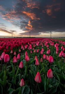 Awakening of the Tulips